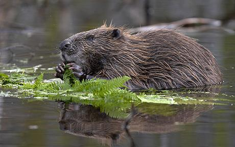 to round-up 20 – 100 Beavers loose in the wild on the River Tay