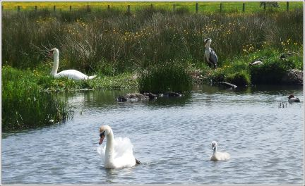 Pair of Swans with the Heron to the right, Ducks are hidden on the banking and also the Pochard in the water.