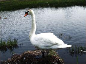 Swan posing for me