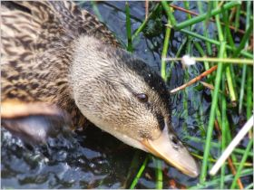 Duckling feeding in the reeds
