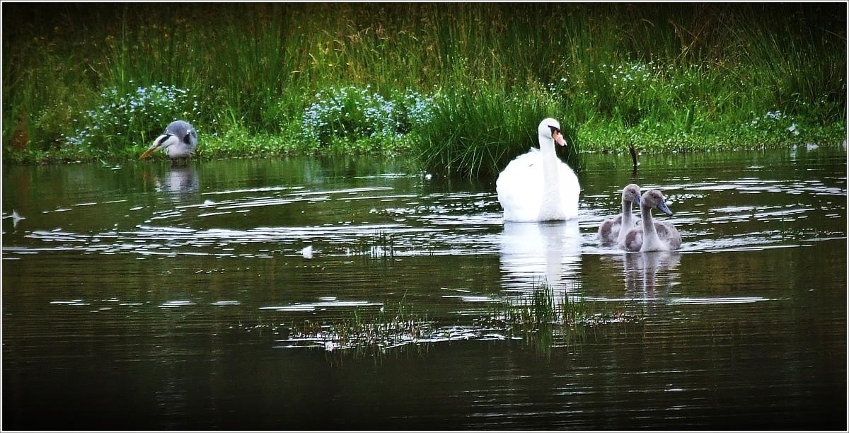 Swan Diary #8
