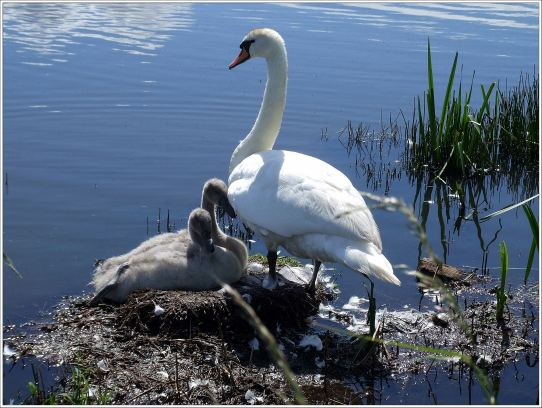 Cygnet's are about 1/3 the size of an adult