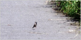 Sparrow on path