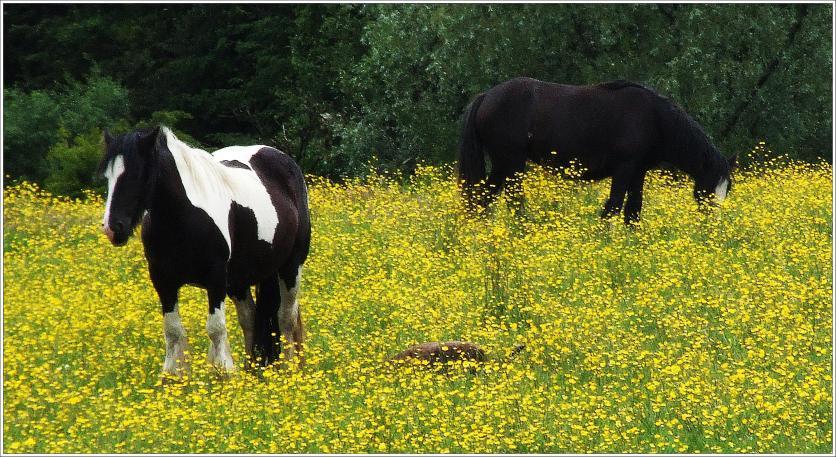 Horses in Buttercup Field