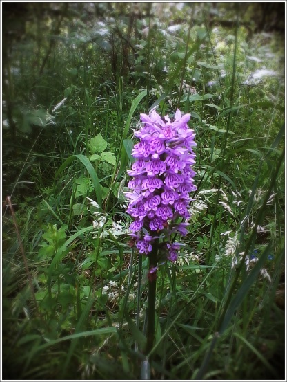 Common Spotted-orchid (Dactylorhiza fuchsii)