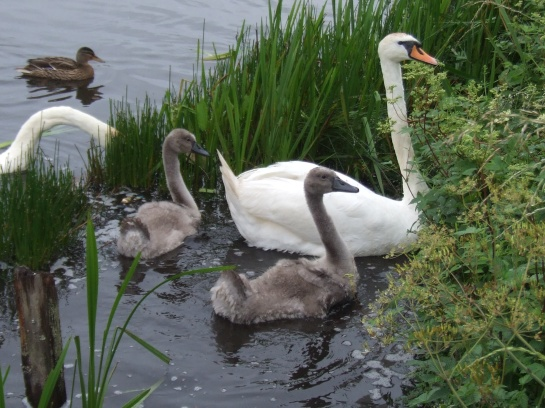 The Cygnets necks are growing slender