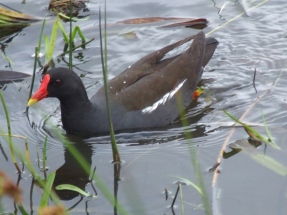 Coots are medium-sized water birds that are members of the rail family Rallidae