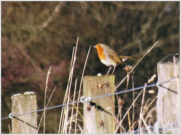 Robin at the Pond
