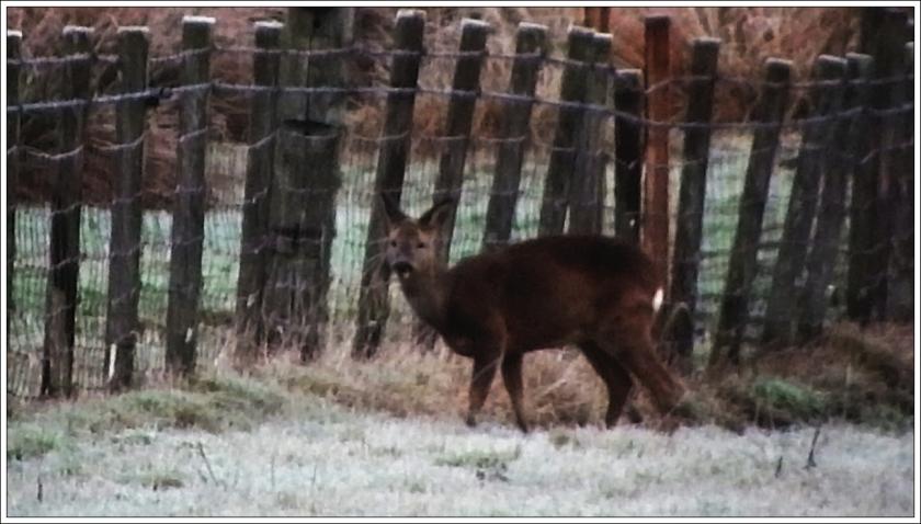 Scottish Roe Deer