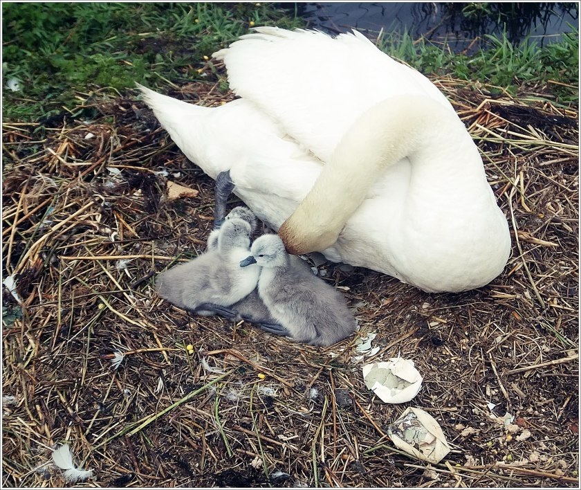 27th May 2013 Cygnets) 179