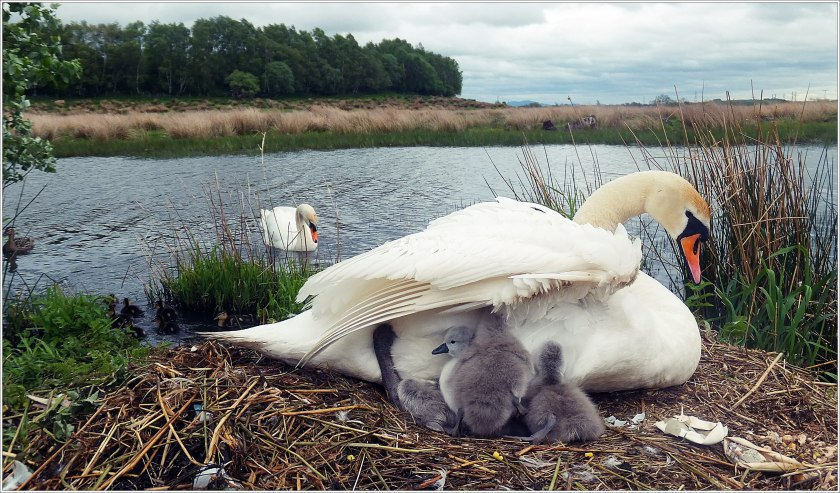 27th May 2013 Cygnets) 189