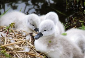 29th May 2013 (Cygnets) 039
